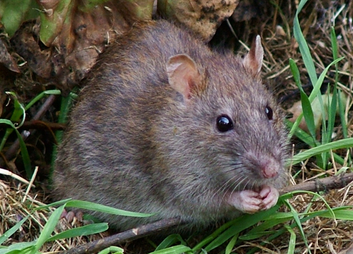 By Reg Mckenna (originally posted to Flickr as Wild Rat) [CC BY 2.0 (http://creativecommons.org/licenses/by/2.0)], via Wikimedia Commons